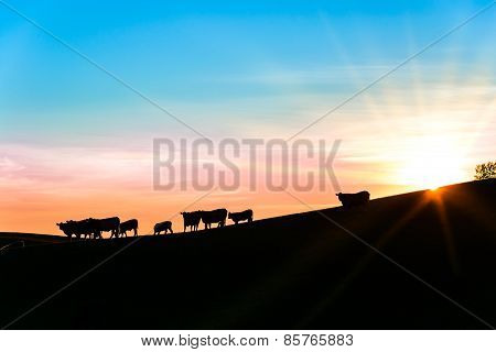 Silhouette Of Cattle On A Slope In The Evening