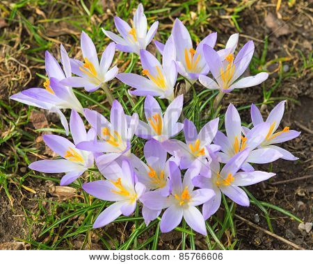 Tender Light Lilac Crocus Spring Flowers