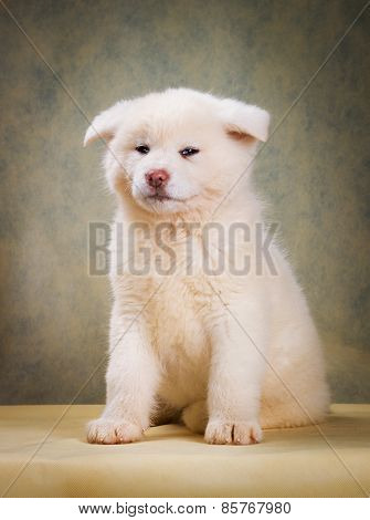 Japanese Akita Inu Dog portrait