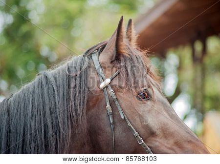 Brown horse in a bridle close up shot. Expressive eyes, eyes, ears, mane sport horse