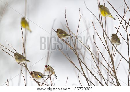 European goldfinch and european greenfinch perched on branches, Vosges, France