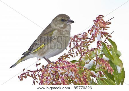European greenfinch perched on flowers