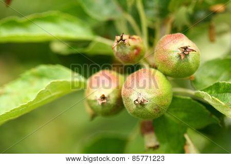 Unripe Apples