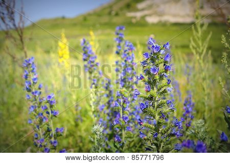 Wild Violet Flowers On The Field