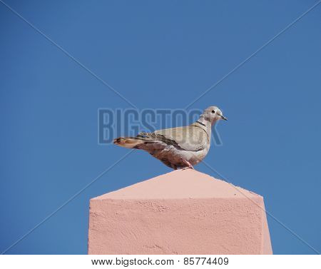 Eurasian collared dove on a wall