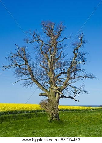 oak tree, canola field and the sea