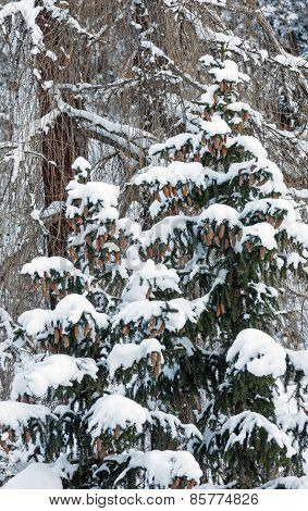 Snowy Fir Trees With Cones.