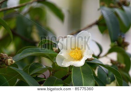 White Colored Camellia Flower