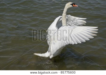 swan spreading its wings