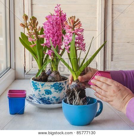 Female Hand Transplant Hyacinth In A Vintage Pot