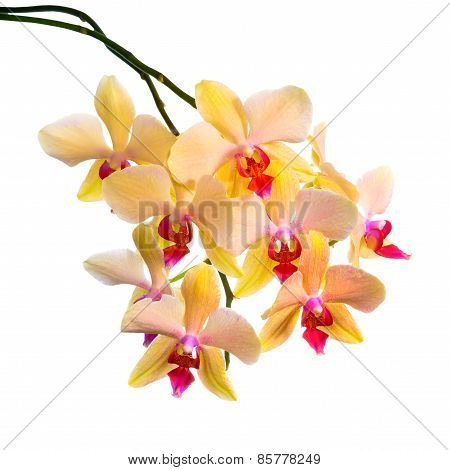 Blooming  Branch Of Orange Striped Orchid, Phalaenopsis Is Isolated On White Background, Closeup