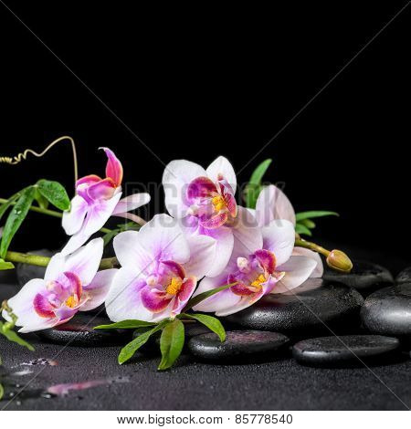 Beautiful Spa Still Life Of Purple Orchid Phalaenopsis And Green Branch On Black Zen Stones With Dro