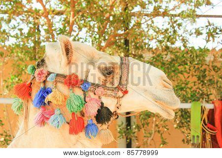 Camel's Head.
