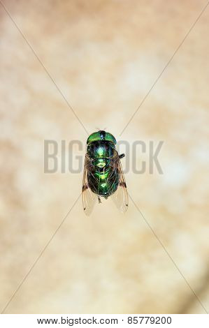 Doméstic Fly