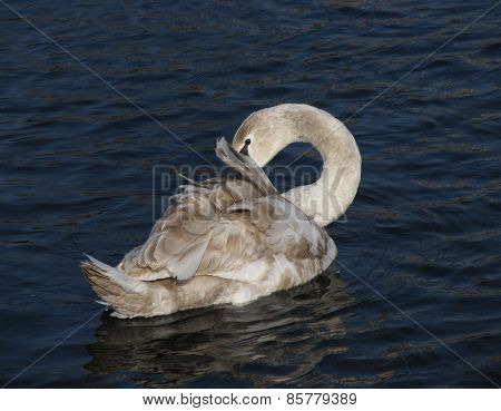 young swan cleaning itself
