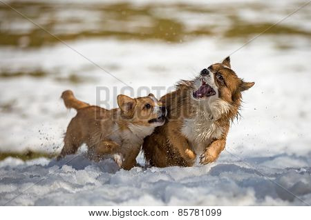 Young Dogs In The Snow