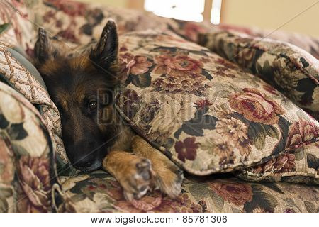German shepherd dog covered with sofa pillows