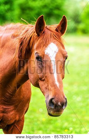 Powerful Beautiful Horse Standing In The Field And Looking Straight. Close Up Of Horse Head