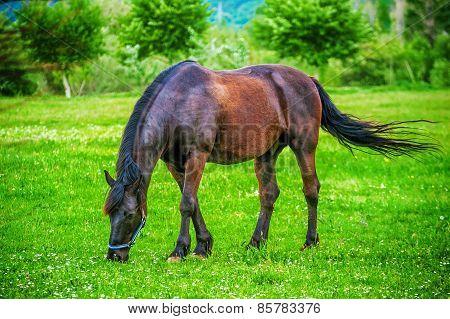 Dark Horse Grazing In The Field