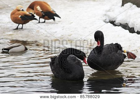 Black Swans. Pond in the Moscow zoo.