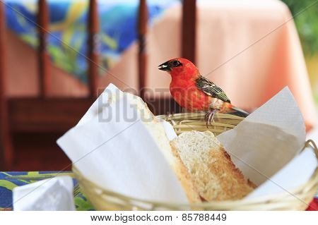 Male Red fody eats bread from the plate.