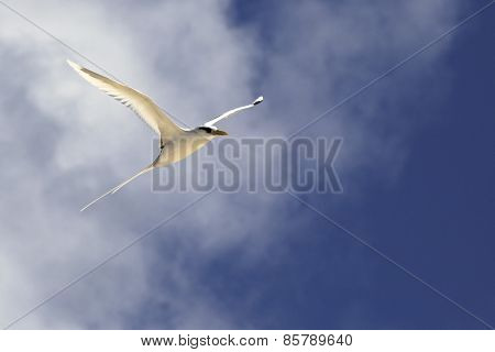 White-tailed tropicbird flying in the sky.