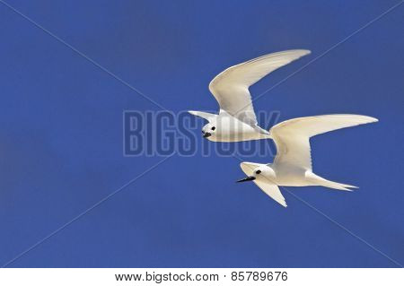 White tern fly in the sky.