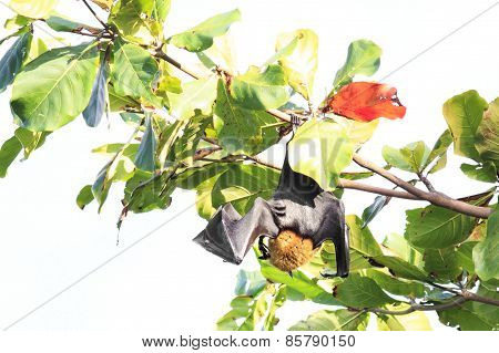 Seychelles flying fox hanging on a branch