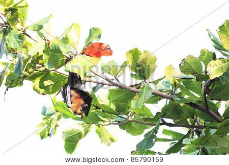 Seychelles flying fox hanging on a branch and washes