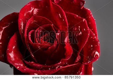 Red Rose With Drops Of Water