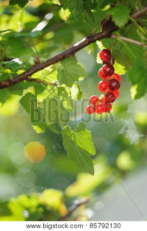 Red Currant Berries In Summer Sun Rays