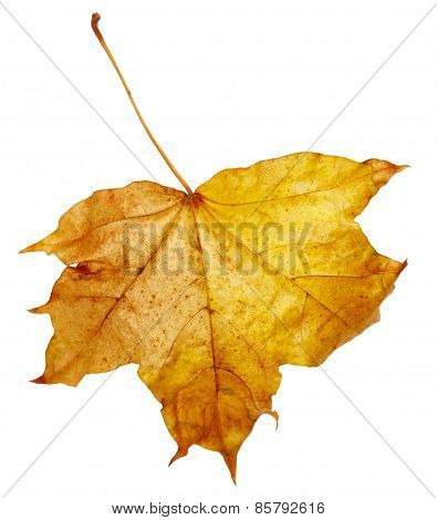 Maple Autumn Leaf
