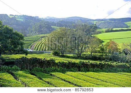 Tea Plantation, Azores Islands