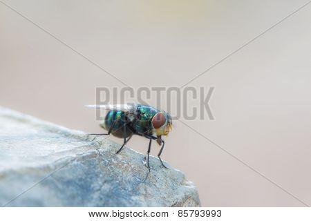 Brazilian Domestic Fly