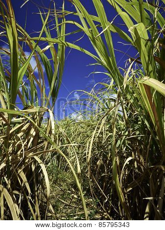 Sugar Cane Fields In Barbados
