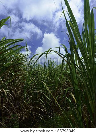 Sugar Cane Fields In Barbados Vertical