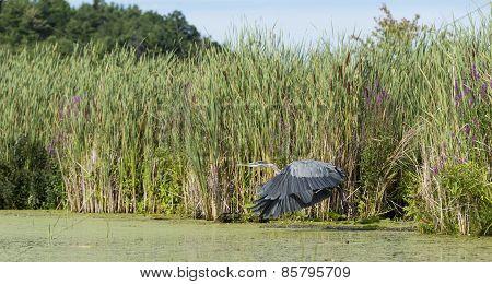 Heron Taking Off In Marshland