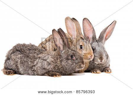Three rabbit