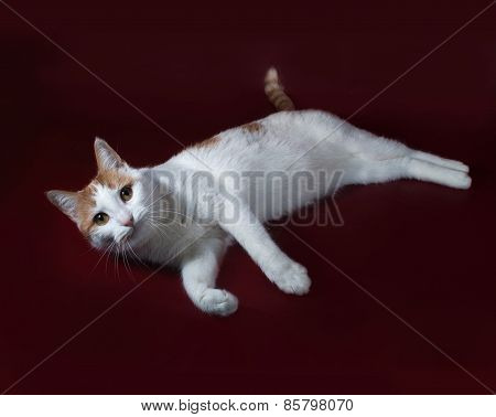 White And Red Cat Lies On Burgundy