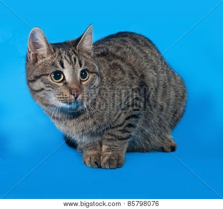 Striped Cat Lies On Blue