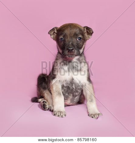 Brown And White Puppy Sitting On Pink