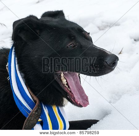 Black Dog In Blue And Yellow Scarves Lying On Snow