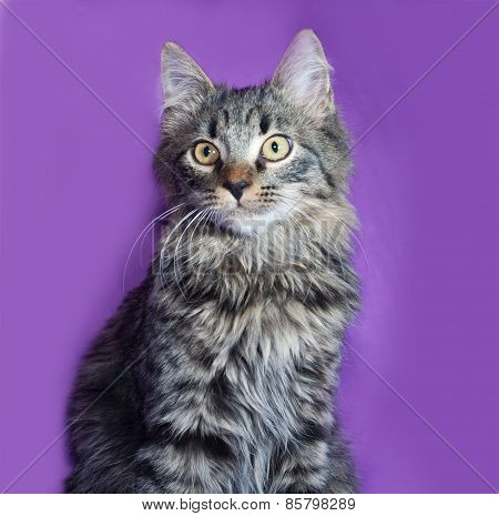 Fluffy Tabby Siberian Kitten Lying On Lilac