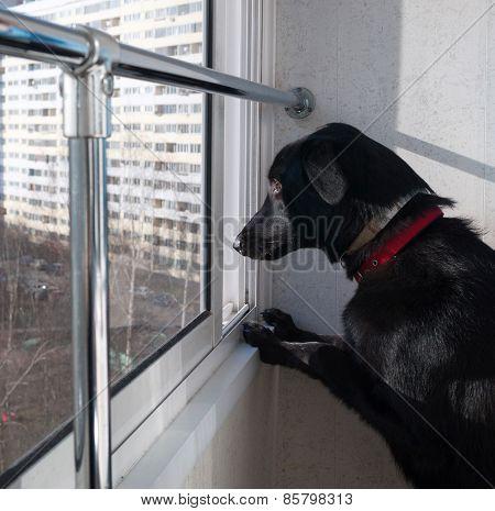 Black Dog Looking From Balcony