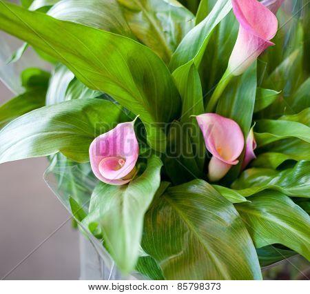 Pink Calla Lily (calla Rehmanii)