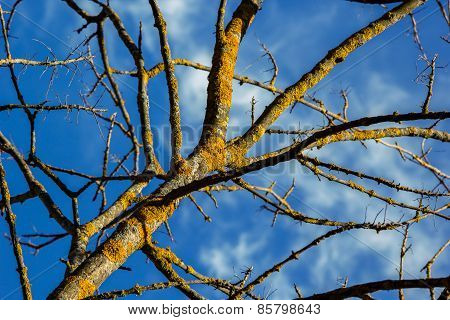 Bare Tree Covered With Moss On The Background Of Blue Sky