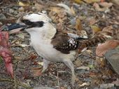 pic of blue winged kookaburra  - laughing kookaburra - JPG
