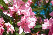 pic of oleander  - Pink flower - JPG