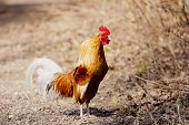foto of cockfight  - A beautiful crowing rooster on a farm - JPG