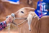 foto of cattle breeding  - Beef cattle showing body in judging contest - JPG